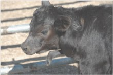 Figure 1.  Calf with Developmental Duplication (DD), note the extra limb originated by its neck.  From Flock and Herd, Case Notes on Polymelia (Supernumerary limbs) in Angus calves by L. Denholm, L. Martin, and A. Denman, December 2011.