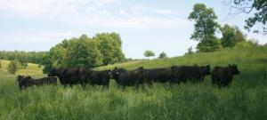 Part of the 150-head Angus herd at Bub Ranch in South Central Missouri