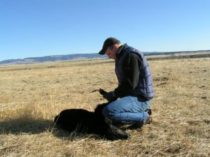 Danny processing a new calf at the Bair Ranch in Martinsdale, Montana