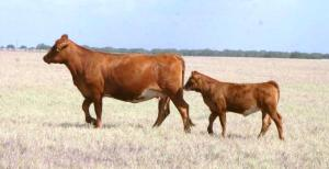 LMC EF JW Black cow with LMC Red Moves hfr
