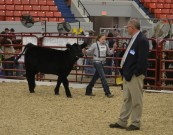 Wesner evaluating the 2011 NAILE Junior Percentage Simmental show.