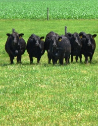Replacement heifers on grass at WLE.