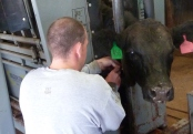 Williams collecting a blood sample to add to his research on improving measurements of temperament in beef cattle.