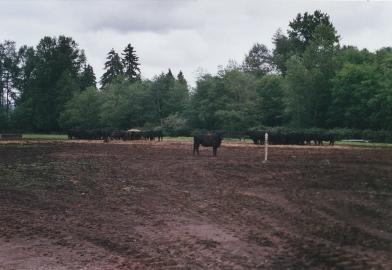03-17 Dennis Ankeny cattle