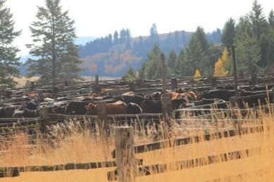 03-19 Olma Cattle