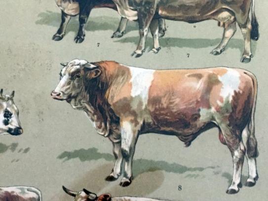 1897 Simmentaler, Hough